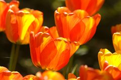 Two-color tulips Royalty Free Stock Photos