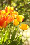 Two-color tulips Royalty Free Stock Image