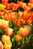 Two-color tulips Stock Photo
