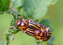 Two colorado beetle Royalty Free Stock Photos