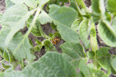 Two colorado beetles (potato beetle) sitting on potato leaves. Royalty Free Stock Photography