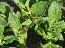 Two Colorado beetles on potato leaf Royalty Free Stock Photos