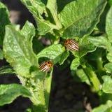 Two Colorado beetles on potato leaf Royalty Free Stock Photo