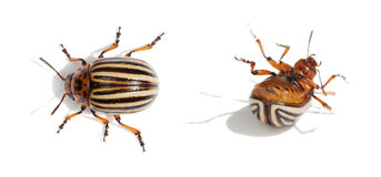 Two Colorado bugs. Live and dead. Royalty Free Stock Photos