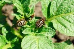 Two colorado potato beetle stock photo