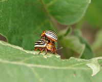 Two Colorado Potato Beetles Royalty Free Stock Photo