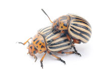 Two colorado potato bug l. Two colorado potato bug (leptinotarsa decemlineata) isolated on the white background stock photo