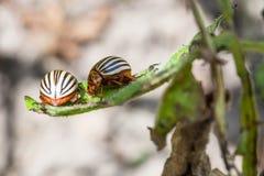 Two colorado potato bugs on potato bush close up. In garden in summer season royalty free stock photo