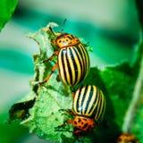 Two Colorado Potato Striped Beetles - Leptinotarsa. Decemlineata - Is A Serious Pest Of Potatoes plants royalty free stock photos