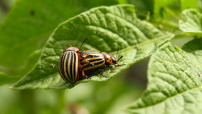 Two Colorado Striped Beetles - Leptinotarsa Decemlineata. This Beetle Is A Serious Pest Of Potatoes stock video