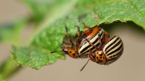 Two colorado striped beetles - leptinotarsa decemlineata. This beetle is a serious pest of potatoes. Reproduction Of. Insects stock video