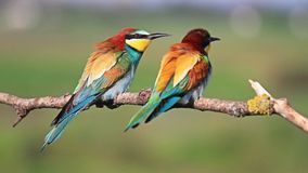 Two colored bird sitting on a branch. Beautiful picture with colorful birds couple in love stock footage