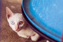 Two colored eyed cat. Sitting shirk I stared at the camera Royalty Free Stock Photos