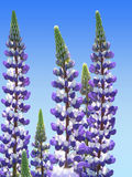 Two colored garden lupin and blue sky Stock Photography