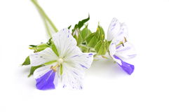 Two colored geranium flowers Stock Image