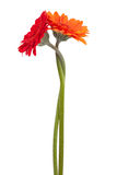 Two-colored gerbera, binding the each other Stock Photos