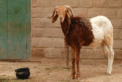 Two-colored he-goat. African two-colored he-goat with empty bucket Royalty Free Stock Image