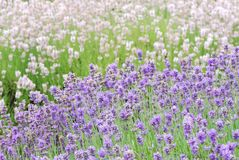 Two Colored Lavender royalty free stock images