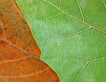 Two colored leaves texture Royalty Free Stock Photography