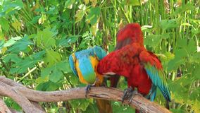 Two Colored Macaw stock footage