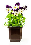 Two-colored pansies in a pot. Isolated over white stock images