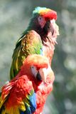 Two colored parrots Stock Photos