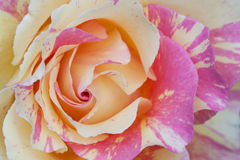 Two colored rose. Bicolor bloom of a rose Royalty Free Stock Photo