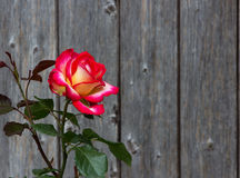 Two colored Rose in front of wooden background. Amazing Two colored Rose Blossom in front of wooden background, romantic, with copy space Royalty Free Stock Photos
