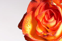 Two colored rose -zweifarbige Rose Royalty Free Stock Photography