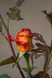 Two-colored roses Stock Photos