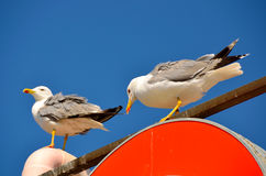 Two colored Seagulls Royalty Free Stock Image