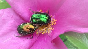 Two colorful beetles in the mating season Stock Photos