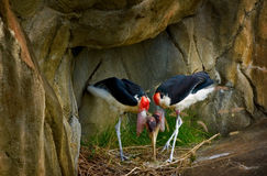 Two Colorful Birds Nesting. Two colorful birds making a nest of twigs Royalty Free Stock Photography