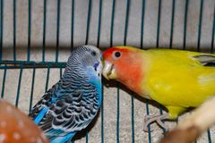 Two colorful cage birds playing with each other, lovebird and budgerigar stock image