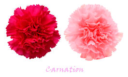 Two colorful carnations Stock Images
