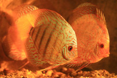 Two colorful discus Royalty Free Stock Photo