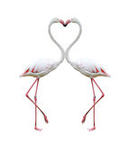 Two Colorful Flamingos Stock Images