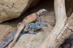 Two colorful lizards Royalty Free Stock Photos