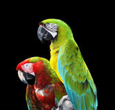 Two colorful macaw parrots Royalty Free Stock Photos