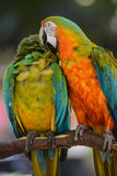 Two Colorful Macaws. Two Colorful Macaw Parrot Birds Stock Images