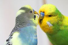 Two colorful male budgies - very good friends royalty free stock photos