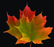 Two colorful maple leaves royalty free stock photos