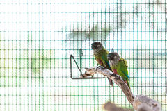 Two colorful painted conure Royalty Free Stock Image