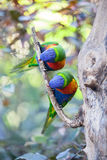 Two colorful parrot on a branch Royalty Free Stock Image