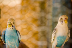 Two colorful parrots. Close up of two colorful parrots royalty free stock photo