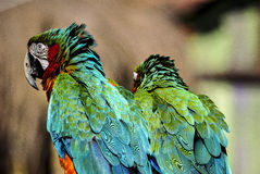 Two colorful parrots. Two very colorful parrots posing in a park in Brazil Royalty Free Stock Images