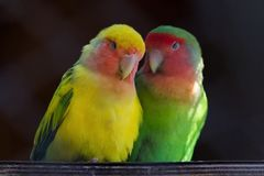 Two Rosy-faced lovebirds in love Stock Photography