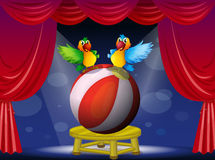 Two colorful parrots at the stage Stock Photo