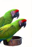 Two colorful parrots Stock Photos