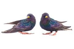 Two colorful plumage of a European Starling. Sturnus vulgaris spring, isolated on a white background Royalty Free Stock Image